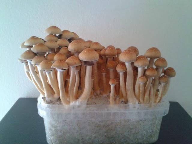 como cultivar hongos en casa
