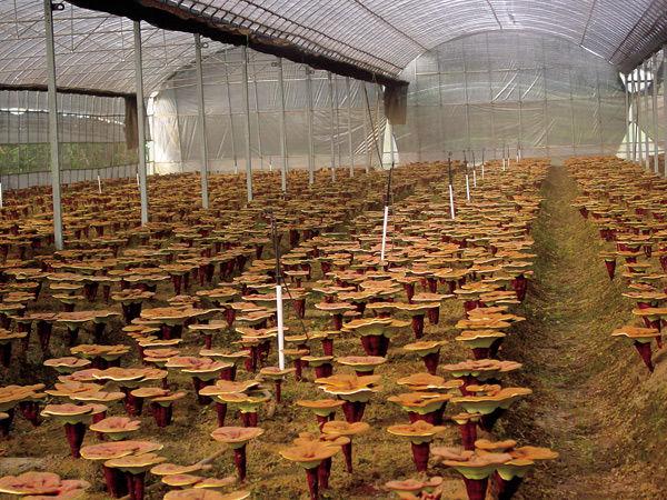 cultivo de hongos setas