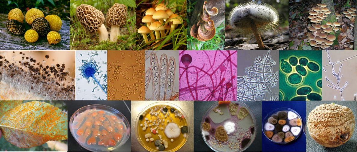 hongos filamentosos estructura