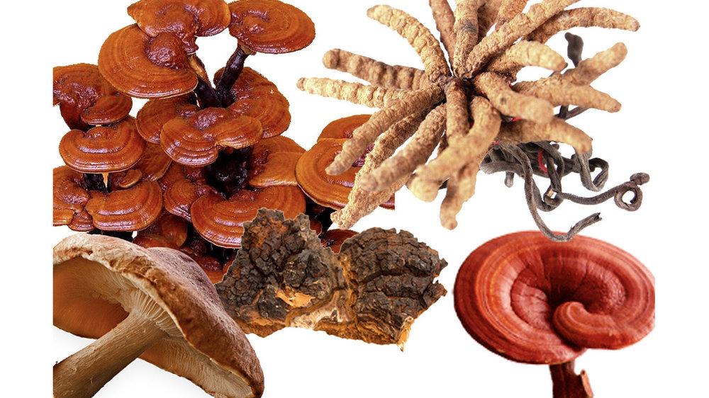 tipos de hongos medicinales
