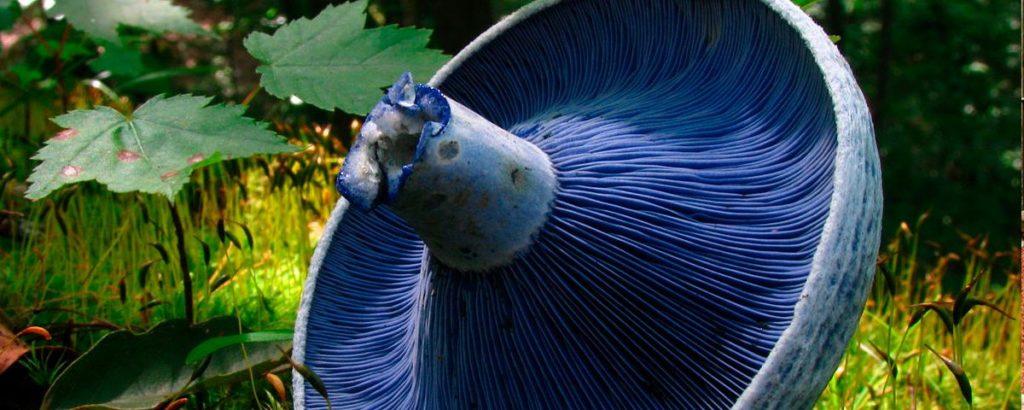 hongos azules
