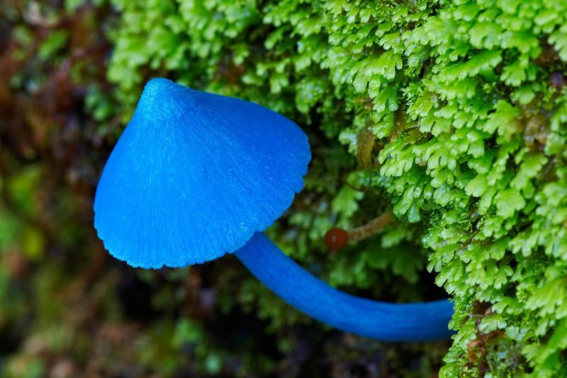tipos de hongos azules