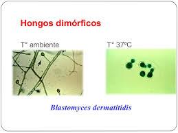 hongos dimorficos caracteristicas