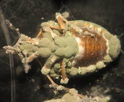 hongos entomopatógenos de pulgones