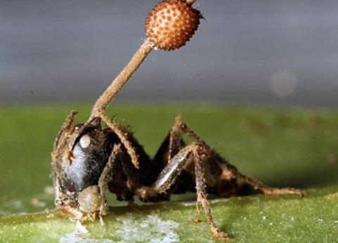 hongos parasitos de insectos