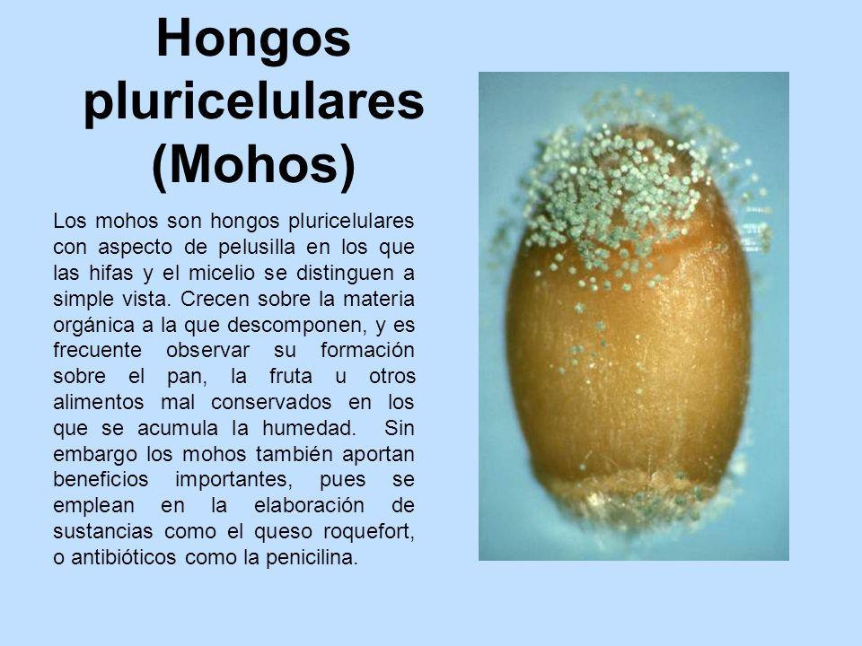 los hongos pluricelulares caracteristicas