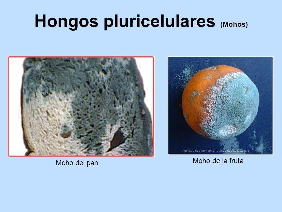 hongos pluricelulares que son