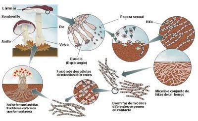 hongos de reproduccion