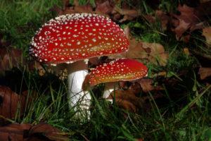 hongos rojos puntos blancos