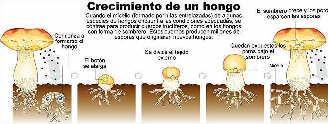 reproducción hongos y algas