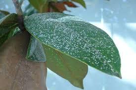hongos en las plantas de interior