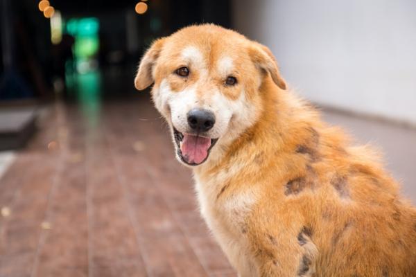 hongos en perros diagnostico