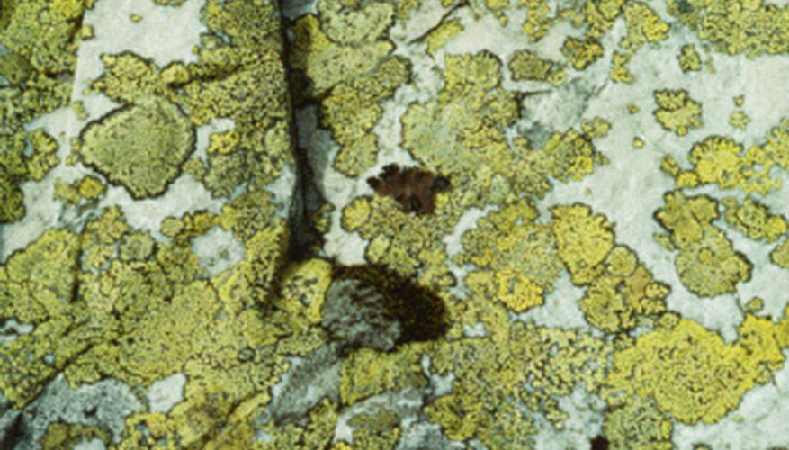 especies de hongos imperfectos