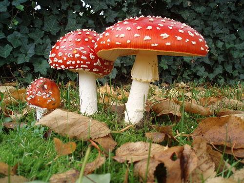 hongos macroscópicos caracteristicas