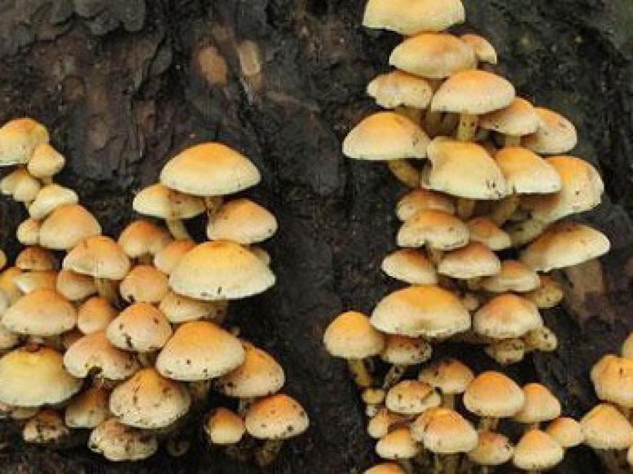 hongos silvestres comestibles