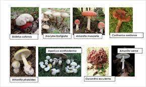 hongos superiores clasificacion