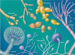 hongos y levaduras caracteristicas